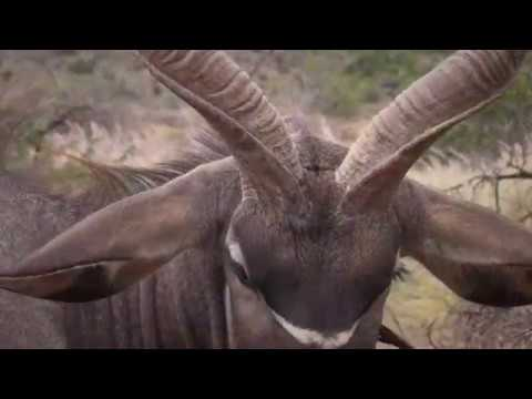 Hunting In South Africa | Cape Kudu | African Hope Hunting Safaris