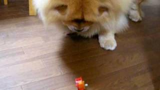 ハムスターのおもちゃで遊ぶチャウチャウのパタちゃん。 ブログのURL ht...