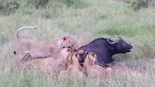 Repeat youtube video The buffalo hunt in Masai Mara