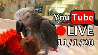 🔴🐦Einstein Parrot LIVE! 11/1/20 Playing In The Sink.