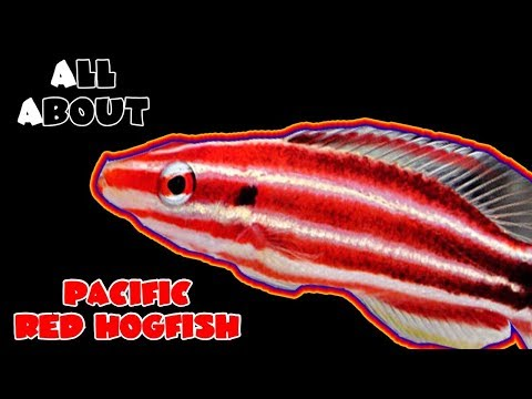 All About The Pacific Red Hogfish Or Peppermint Hogfish