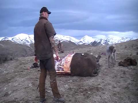 Caping A Bison. Tim Buma.