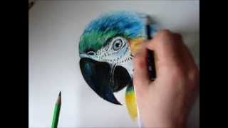 Speed Draw Macaw
