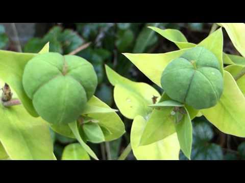 Caper berry plant - Capparis spinosa - Kapers - Blómknúppar - Sumarblóm