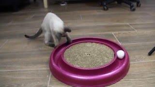 Тайская кошечка Кира, окрас сил-пойнт, 2,5 месяца