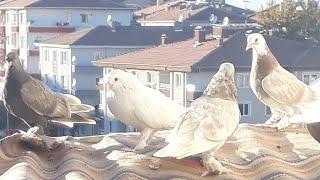 Neden video gelmiyor güvercinleri saldık