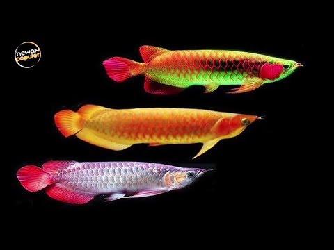 5 Jenis Ikan Hias Termahal Di Dunia