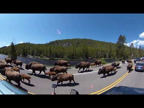 Bison Jam (w/ Babies)! Buffalo Saunter Down the Road at Yellowstone in 360 VR