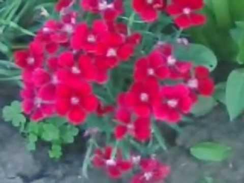 Video de plantas con flores en mi jardin plantas - Jardines con rosas ...