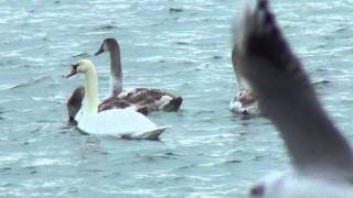 22.12.2012 отдых в Евпатории мирно плавают лебеди видео(http://gezlev.com.ua/, 2012-12-23T08:46:49.000Z)
