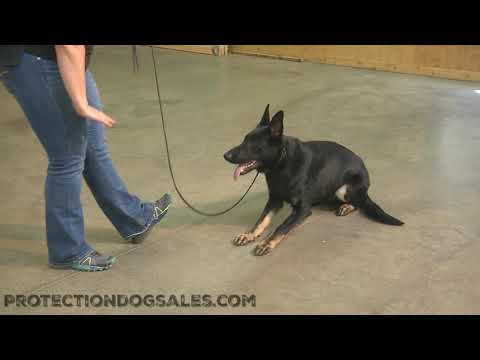 Baby Faced Y A N G O Showing Why He Is A Super Dog Elite German Shepherd 8 Mo's