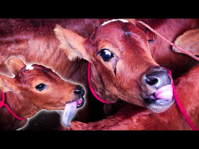 Cute Sahiwal Baby Cows for SALE | Price 13K for Each Calf | Cattle & Livestock Market in Karachi HD