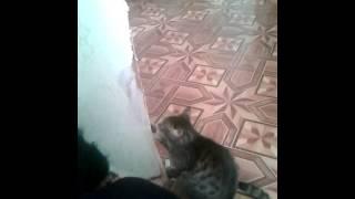 Кот рвет обои