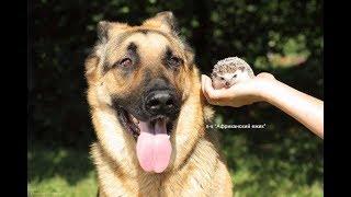 Африканский ежик и собака / кошка