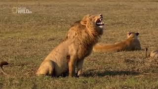 Clip làm video - Clip ghép video sư tử cười haha
