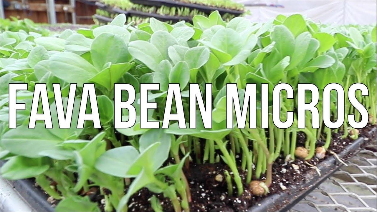 How To Grow Fava Bean Microgreens Youtube