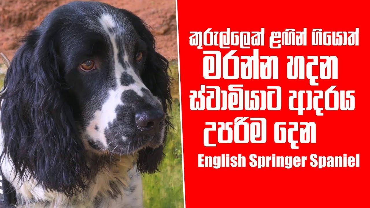කුරුල්ලෙක් ළඟින් ගියොත් මරන්න හදන ස්වාමියාට ආදරය උපරිම දෙන  English Springer Spaniel | Pet Talk