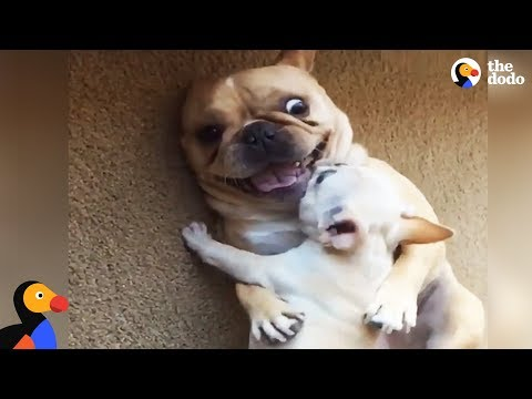 Hilarious French Bulldog Gets New Baby Brother | The Dodo