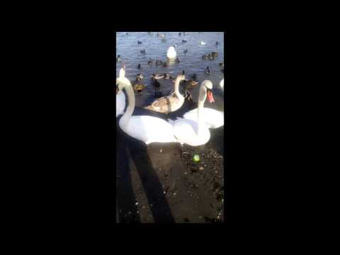 Вопрос: Можно ли кормить лебедей с рук Почему?