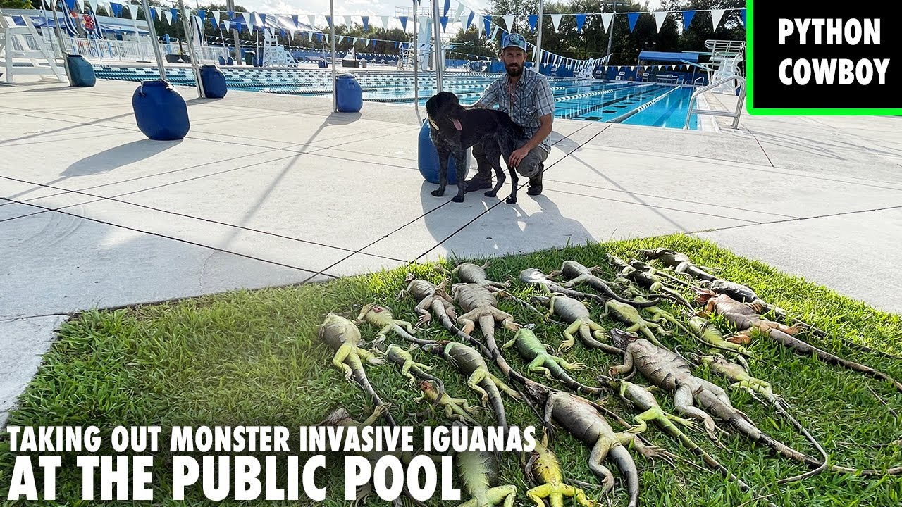 Taking Out Monster Invasive Iguanas At A Public Pool