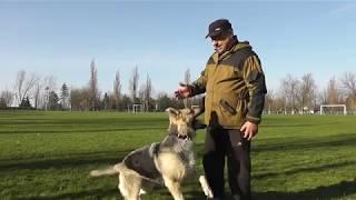 О породе Восточно-Европейская овчарка