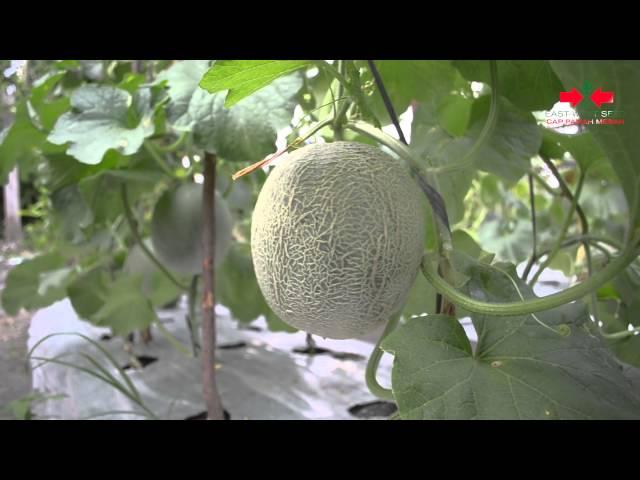 Madesta F1, Rock Melon Berdaging Oranye