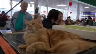 """Fenix Big-Cats 3.6 мес. """"Всемирная выставка кошек. Минск."""