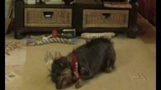 Livs Lustige Tricks (dachshund Liv Doing Tricks: Funny, Failed And Cute Tricks)