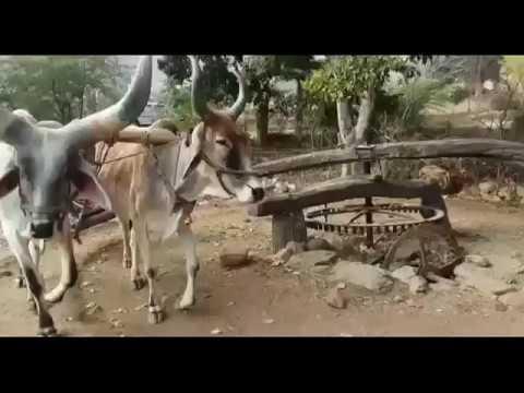 खेती का देशी जुगाढ़। जुगाड़ से खेती  \agriculture jugaad। farmer use this Indian jugaad technology !
