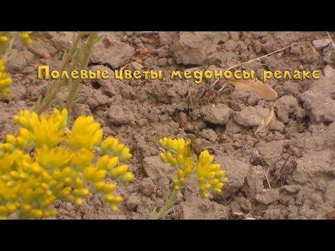 Полевые цветы, желтые медоносы, релакс на природе