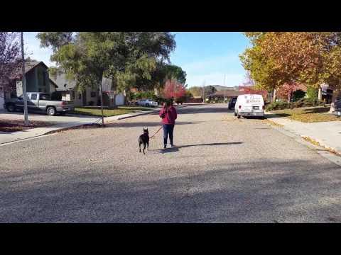 Canine Tutors, San Jose Dog Training With A Pitbull 408-455-1503