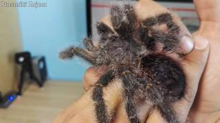 UNPACKING Avicularia bicegoi dorosła samica DZIĘKI PATRONITE !!