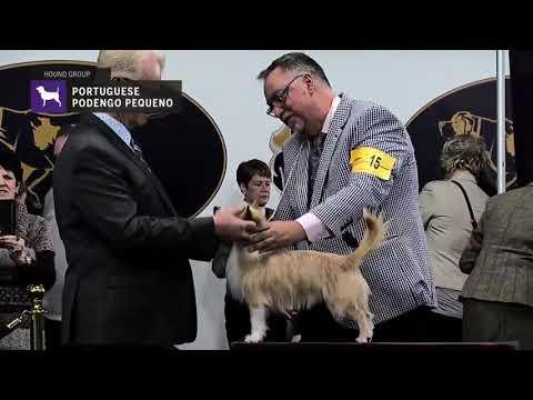 Portuguese Podengo Pequenos | Breed Judging 2019