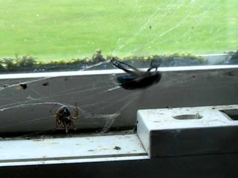 Spider Catches Fly - strength of a spider web