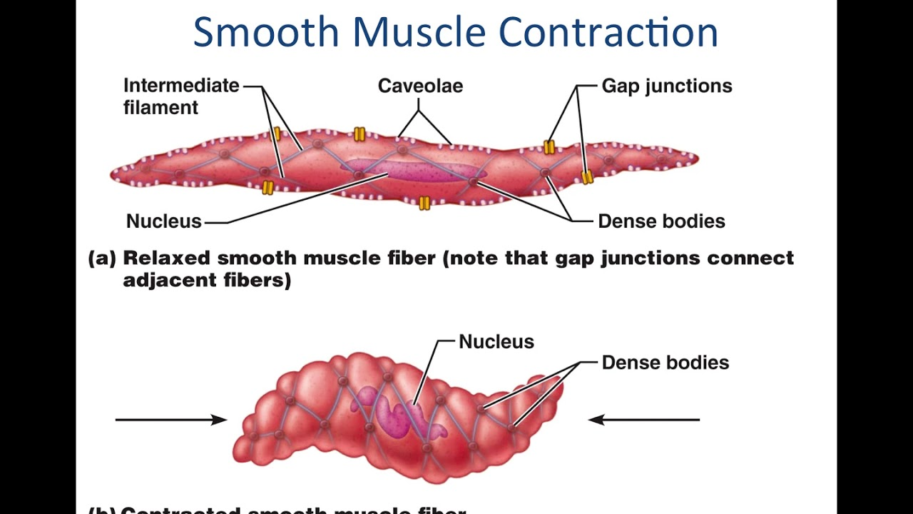 Smooth Muscle Physiology