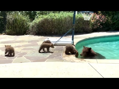 Mama bear takes dip in backyard pool as cubs watch