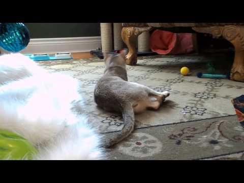 Spice my Singapura cat playing with her Christmas presents. Cat toys