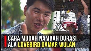 Download CARA MUDAH NAMBAH DURASI ALA LOVEBIRD DAMAR WULAN