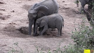 Watch Elephants Digging For Seepage water