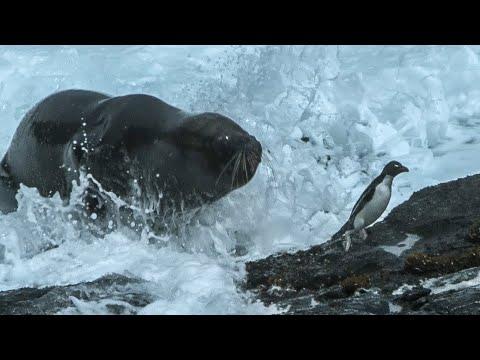 foca ataca y come pingüinos en la patagonia
