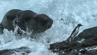 Huge Sea Lion attacks and eats Penguins - Wild Patagonia - BBC Earth