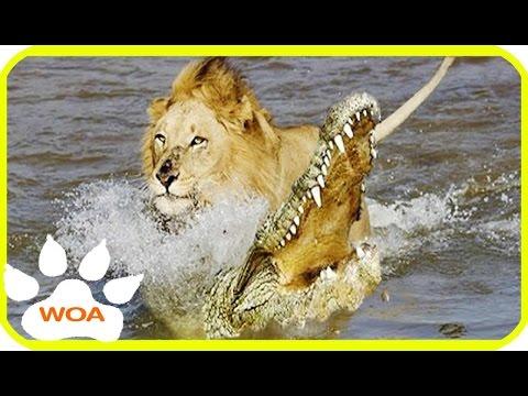 Wild King dead   Giant Crocodile attack Lion cross the river 2017