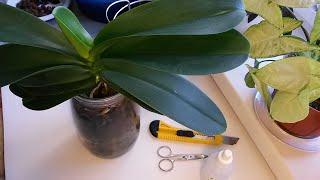 КАК РАЗДЕЛИТЬ ОРХИДЕЮ?! Размножение и омоложение орхидеи фаленопсис делением куста.