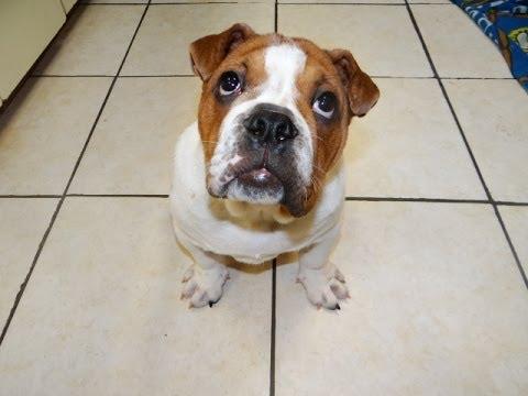 Bull Pei, Puppies, Dogs, For Sale, In Virginia Beach, Virginia, VA, 19Breeders, Chesapeake