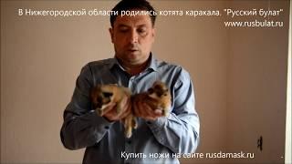 В Нижегородской области родились котята каракала