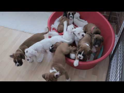 ELEVEN BOXER PUPS IN A LITTER!  * NATURAL BOBTAIL & LONG TAIL