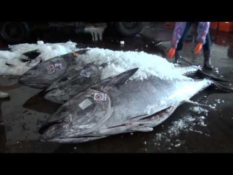 東港黑鮪魚拍賣過程
