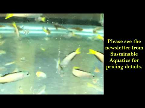 Sustainable Aquatics Tank Bred Harptail Blenny
