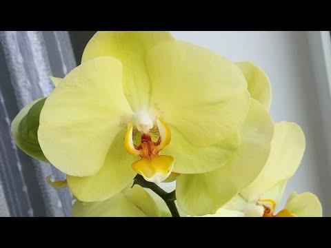 Решила сменить состав грунта у Орхидей мама и дитя жёлтые красавицы