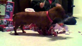 Rusty The Dachshund Opening Christmas Gifts